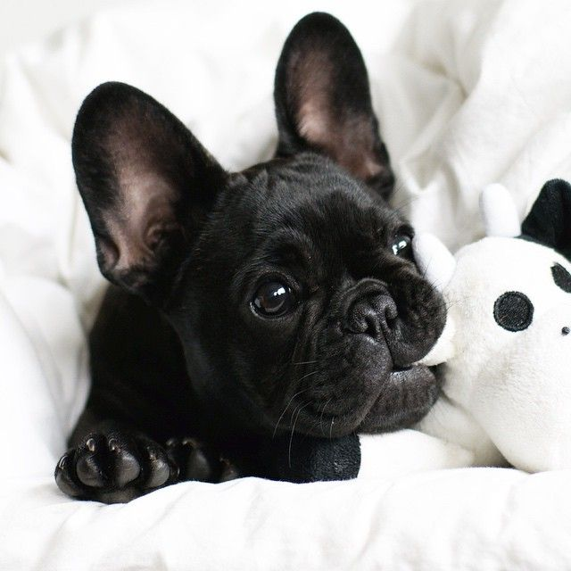 frenchie baby//