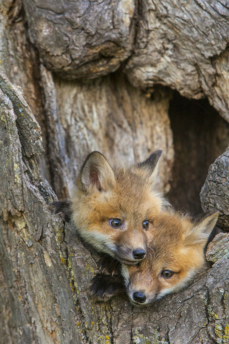 Fox kits looking for a way to get down♡♡♡