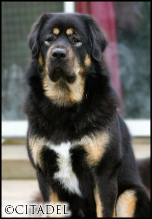 Tibetan mastiff. I love big dogs