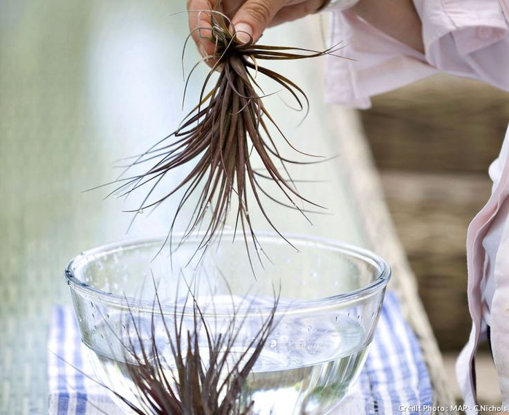 Arrosage des tillandsias                                                                                                                                                                                 Plus