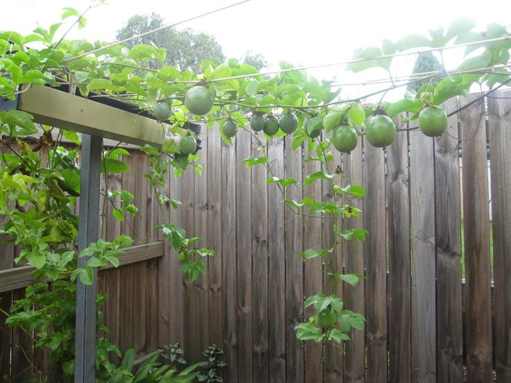Growing passion fruit my garden creation edible for Gardening is my passion
