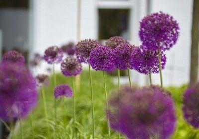 tuinplanten in bloei in strakke moderne tuin met vijver