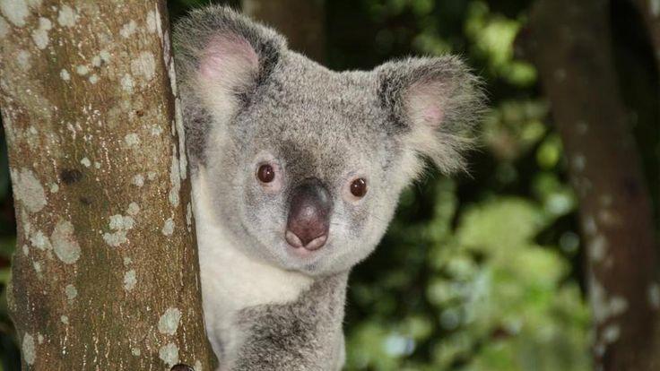 Koala a rischio estinzione per colpa della perdita del loro habitat naturale - La Stampa