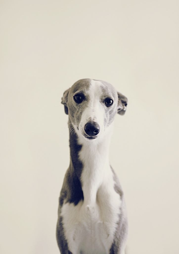 Whippet love | Things that rule. | Pinterest