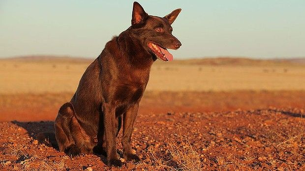 Koko on the set of 'Red Dog'. The seven-year-old red cloud kelpie became the country's best-known dog when he featured in the hit film about a freewheeling canine who united a Pilbara mining community in the 1970s. R.I.P. 18/12/2012