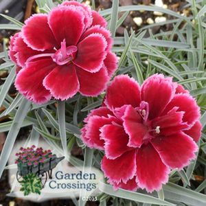 Great Garden Crossings Online Garden Center Offers A Large Selection Of Dianthus  Plants. Shop Our Online Perennial Catalog Today.