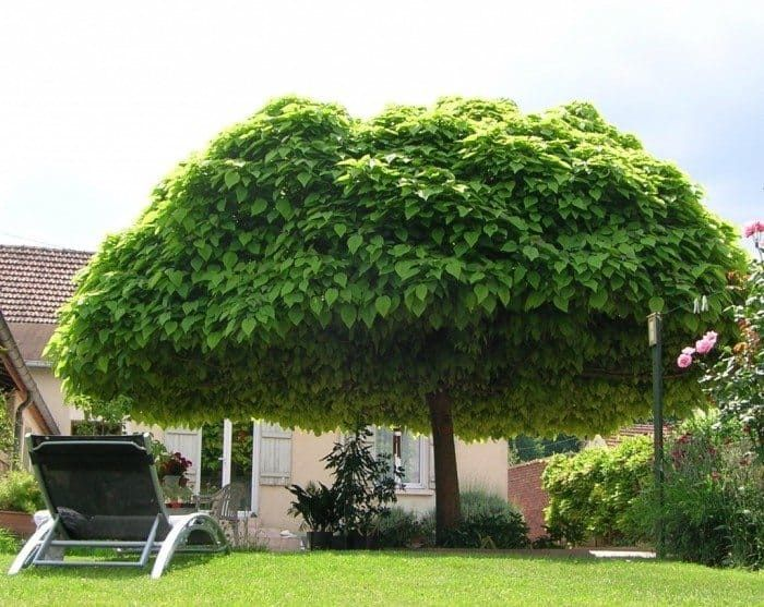 Shade Trees For The Backyards
