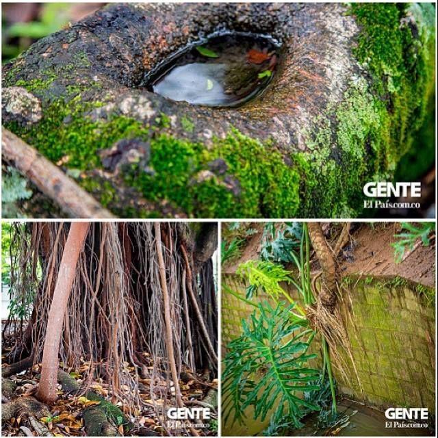 Cali es una ciudad donde los árboles se toman las calles y son parte de nuestro camino.   Los invitamos a recorrer con nosotros la jungla donde vivimos en la galería de fotos que muestra que la vegetación tienen lugar entre tanto cemento.   Mira toda la galeria de fotos en #GenteOnline: http://ow.ly/sxRRl.
