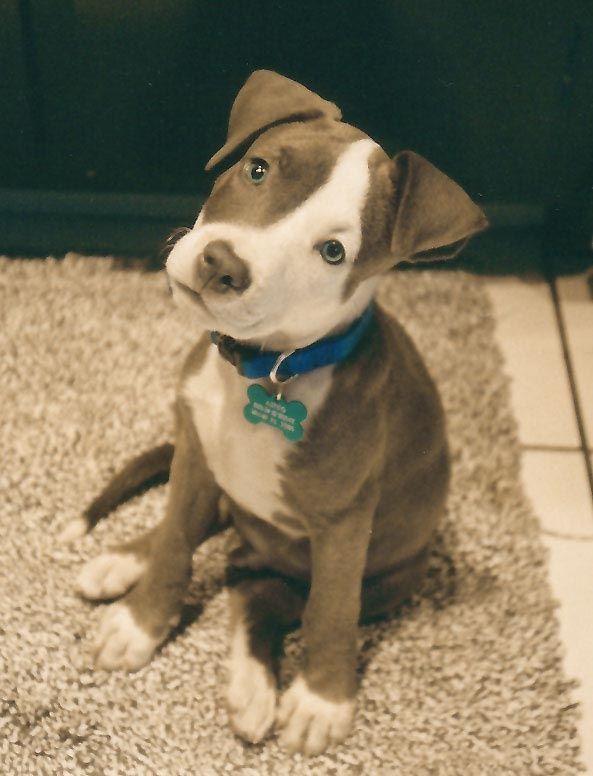 Best Dog Treats For Pitbulls
