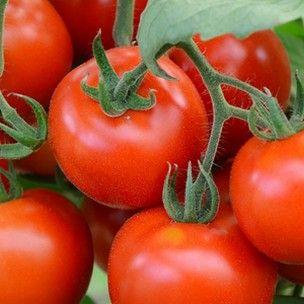 La Tomate 'Précoce de Quimper' est une variété régionale ancienne, particulièrement précoce (55 à 60 jours). Originaire du Finistère, c'est une variété résistante et productive aux petits fruits rouge de 50 à 100 grammes. La chair de cette belle tomate est juteuse, acidulée et à l'excellente saveur. Adapté à toute la France et tout particulièrement au climat Breton.