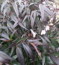 Strobilanthes Anisophyllus - Goldfussia...