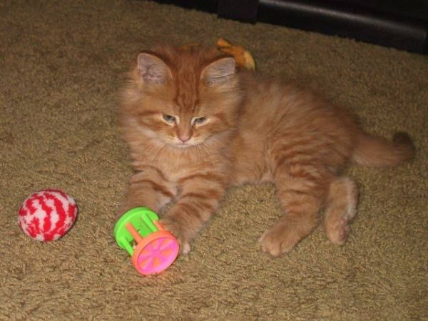 Via Erin PowellOrange Tabby Maine Coon Kitten