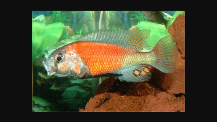 haplochromis hippo point salmon