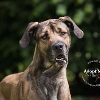Warsaw, Indiana - Great Dane. Meet Cooper, a for adoption. https://www.adoptapet.com/pet/19796527-warsaw-indiana-great-dane-mix