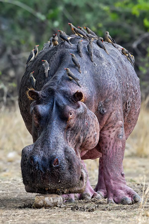 Old scarred Hippo bull, Zambia .  The wounds on this elderly hippo get special attention from Red & Yellow-Billed Oxpeckers - Zambia, Africa..