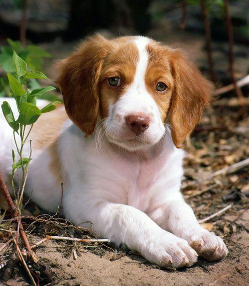 40 Best MediumSized Dogs Brittany spaniel dogs