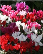 Cyclamen  Cyclamen add a spot of brilliance to any room. Cooler temperatures (55°F to 65°F) prolong their blooming, and always water from the bottom or the side of the tuber, never in the center of the foliage.