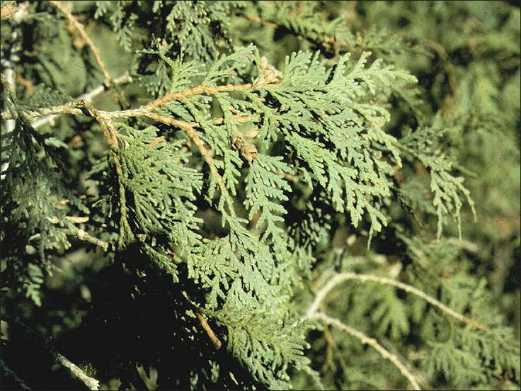 ISU Forestry Extension - Tree Identification: Northern White Cedar ...