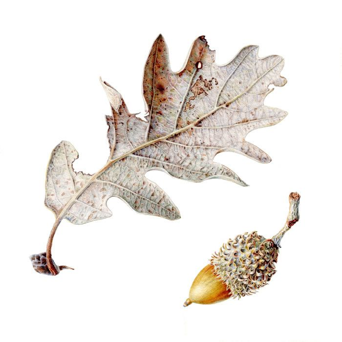 Oak Leaf Folio illustration agency, London, UK | Carolyn Jenkins - Watercolour ∙ Painterly ∙ Botanical ∙ Horticultural ∙ Photorealism - Illustrator