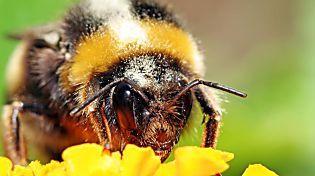La asombrosa inteligencia de los abejorros