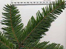 Im Vergleich zur Nordmann- und Nobilistanne ist die Küstentanne schnellwüchsig. Sie kann in ihrer Heimat Nordamerika bis zu 50 Meter hoch und nahezu 15 Meter breit werden. Die Qualität des hellen, grobfaserigen Holzes wird allerdings von der Möbelindustrie weniger geschätzt. Die Küstentanne – im Übrigen auch Riesentanne genannt - eignet sich also am ehesten für alle, die sich einen großen Weihnachtbaum mit langer Lebensdauer wünschen.