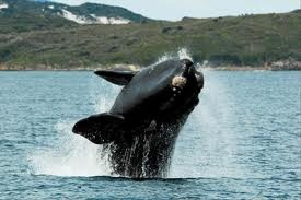 Places - Whale watching in Albany Western Australia. Amazing! Places I have been