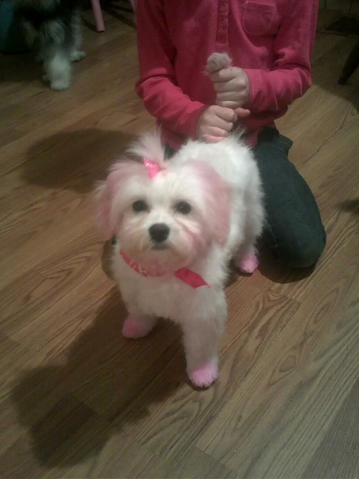 59 best dog hair dyed images on Pinterest   Creative grooming, Pet ...