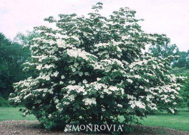 venus dogwood monrovia venus dogwood fast to 15 ft. Black Bedroom Furniture Sets. Home Design Ideas