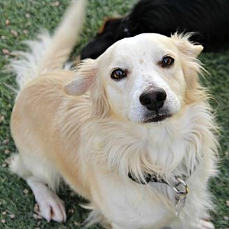 Phoenix, AZ - Corgi/Shepherd (Unknown Type) Mix. Meet Gregory, a dog for adoption. http://www.adoptapet.com/pet/19166002-phoenix-arizona-corgi-mix