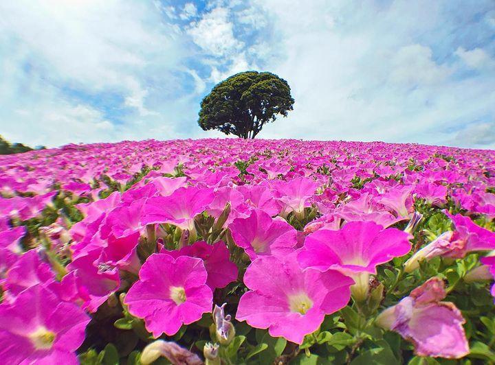 千葉県富津市の「マザー牧場」はお花が綺麗なおすすめスポットです♪ 今の時期は、「桃色吐息」というペチュニアを品種改良したお花が見頃を迎えています! 25,000株の桃色吐息が咲き乱れる光景は、まさに絶景(*´▽`*) ぜひ、家族で出かけてみてくださいね!