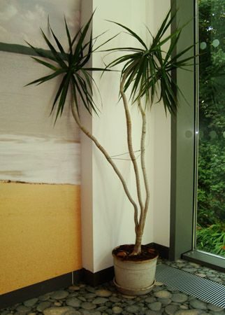 A large Dracaena marginata 'tarzan' | homedeco ...