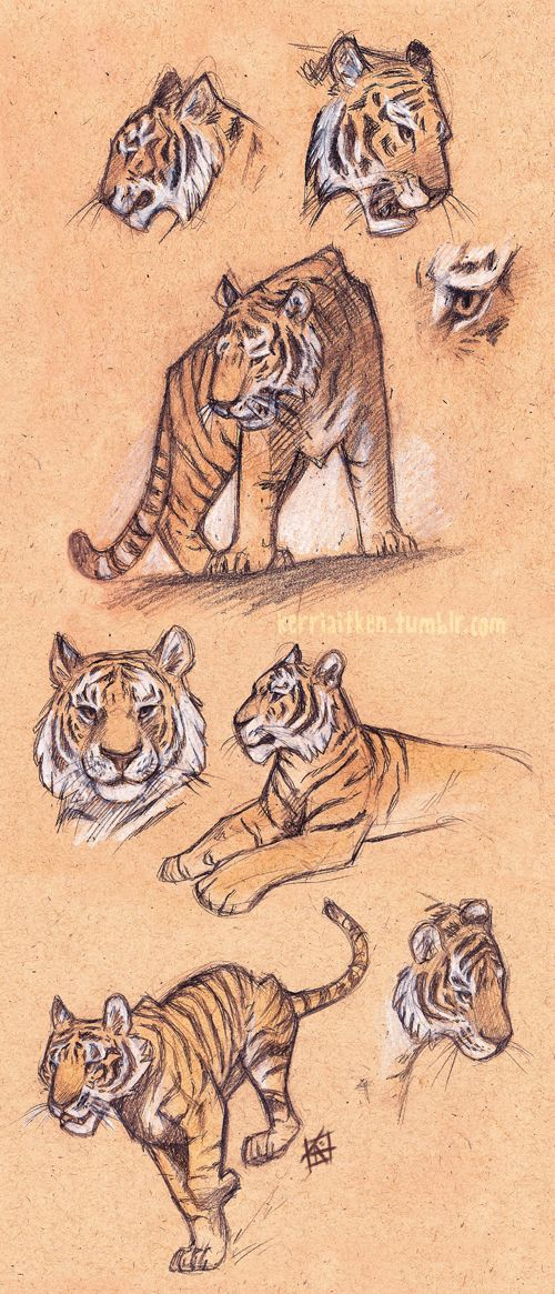 I don't feel like I share my sketches enough, or for that matter sketch enough, so to remedy this here are some tigers ('cause tigers are awesome)! BLOG TUMBLR FACEBOOK