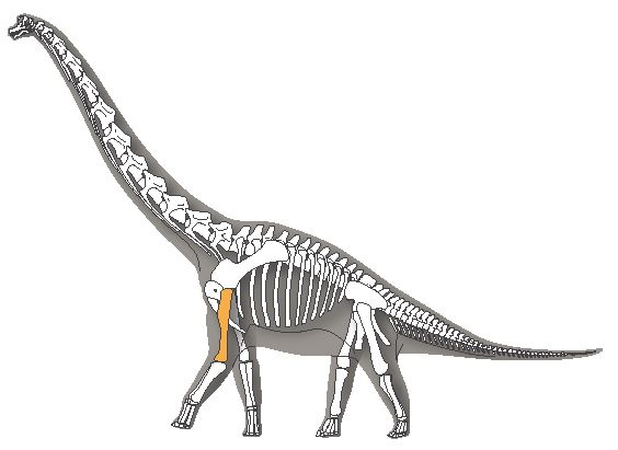 Brachiosaurus, highlighting humerus bone, illustrated by Michelle Leveille for LACMNH