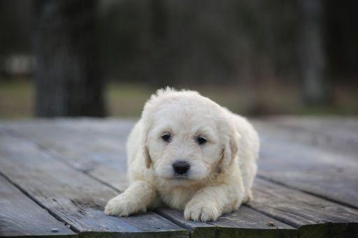 Goldendoodle puppy for sale in GLASGOW, KY. ADN-67156 on PuppyFinder.com Gender: Female. Age: 6 Weeks Old