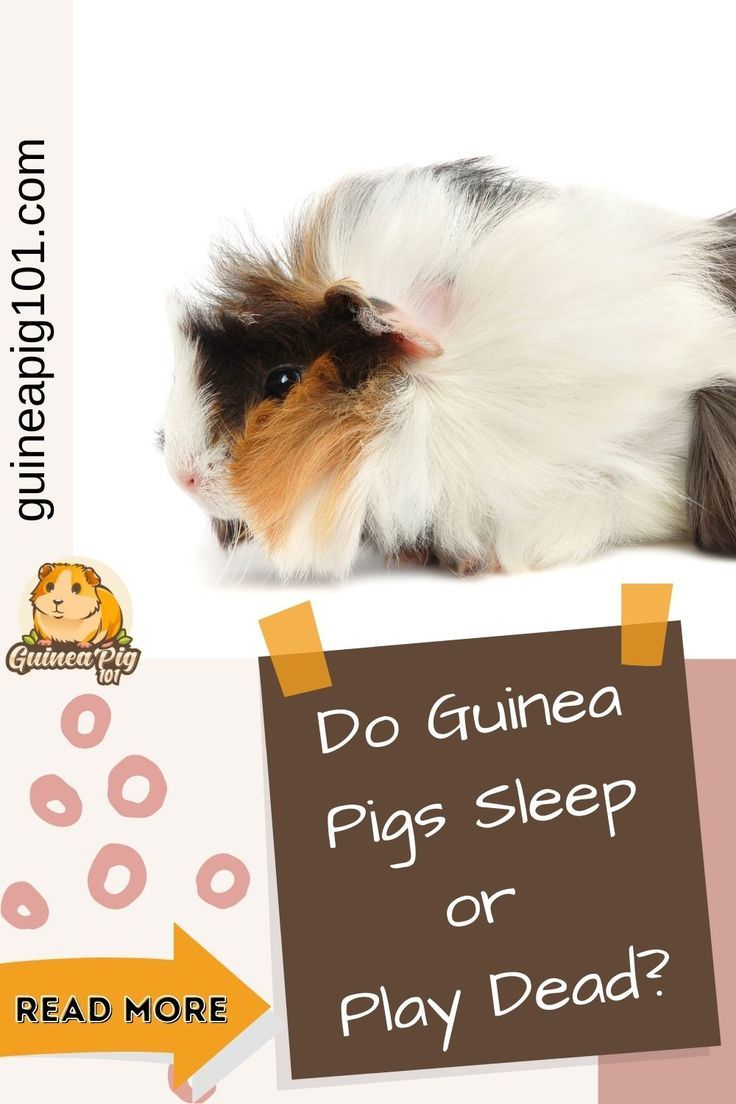 Pin On Health Problem In Guinea Pig