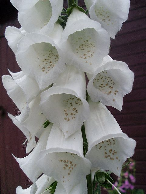 Fox Glove, butterfly/hummingbird plant, deer resistant. Do not use around horses.