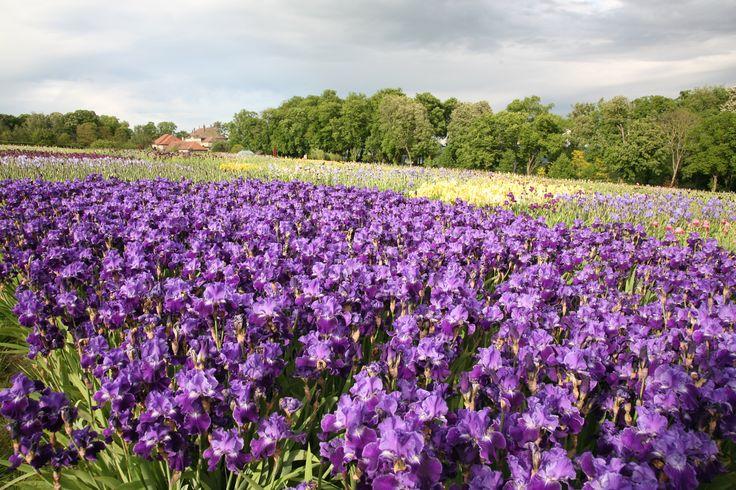 Des iris violets foncés (2014)