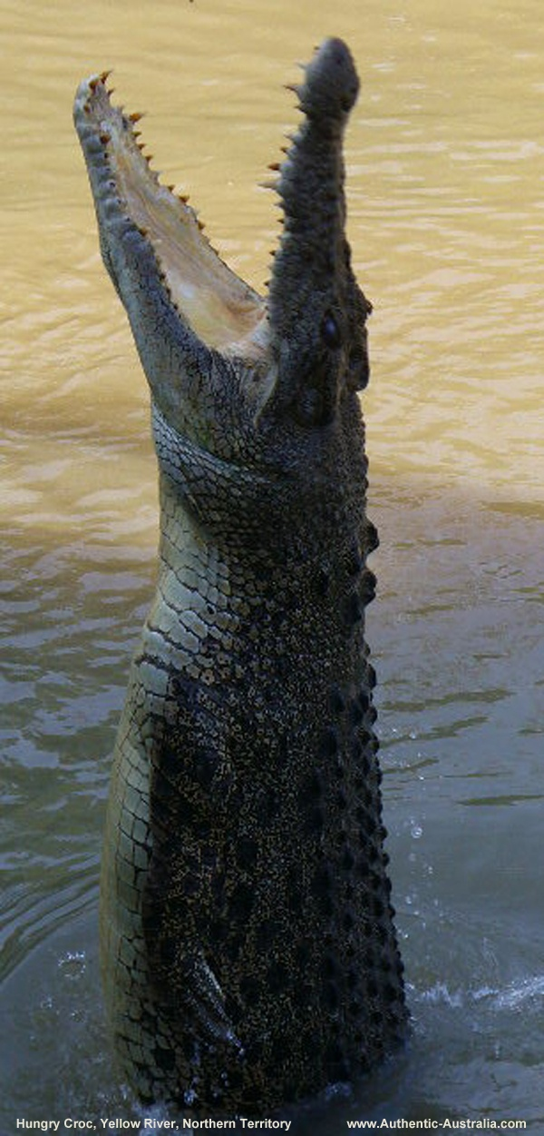 A very hungry crocodile in the Yellow River, Northern Territory, #Australia
