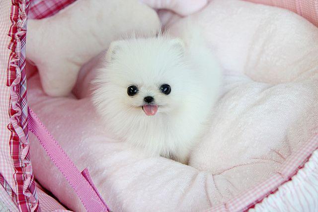White Teacup Pomeranian | animals | Pinterest