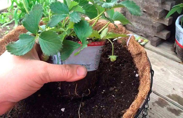 Советы садоводам, которые собираются сменить клубничное место