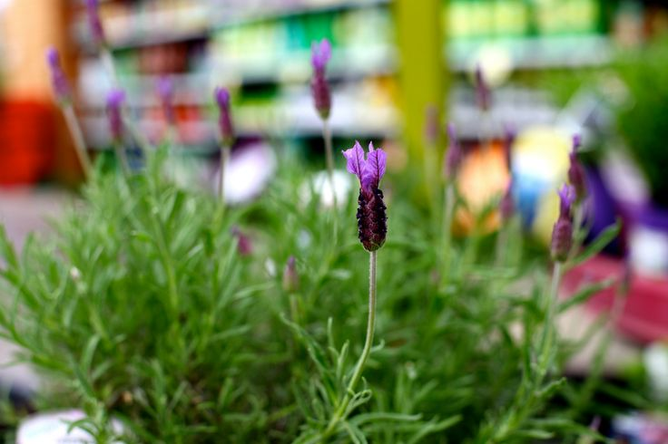 Lavandula stoechas - Classic fragrance! Distinctive, scented, deep purple flower spikes topped with purple ears above neat evergreen bushes. Narrow, grey-green aromatic foliage. Flowers from late Spring to late Summer. Water well before planting and until well established. Deadhead to encourage repeat flowering. Culinary herb!