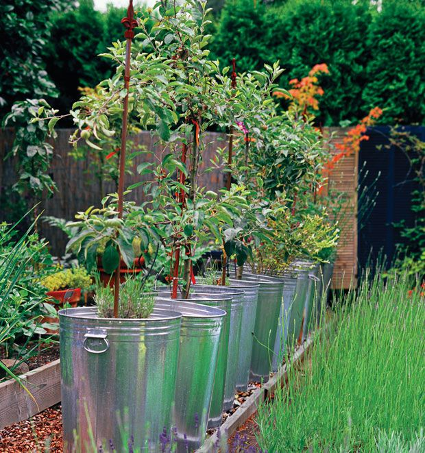 Metal trash cans repurposed for miniature apple trees.