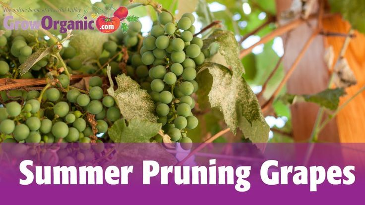 30 best images about grapes on pinterest
