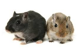 Gerbils are very clean animals.They are awake during the day. Gerbils are fragile. They are not ideal pets for young kids. Know more about Gerbils here: http://easyscienceforkids.com/all-about-gerbils/