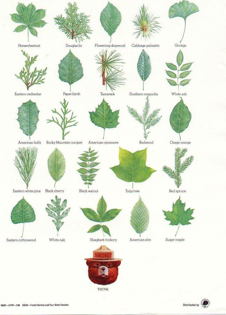 Фото и описание листьев деревьев