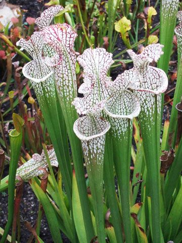 Pitcher Plant...An unusual garden plant, with exotic flair, that thrives on neglect and is hardy to zone 4.