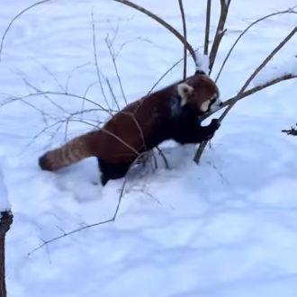 Pazzi per la gioia, i cuccioli di panda rosso vedono la neve per la prima volta