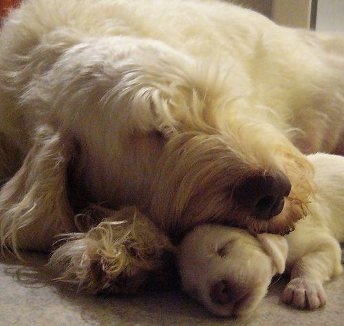 spinone italiano & pup
