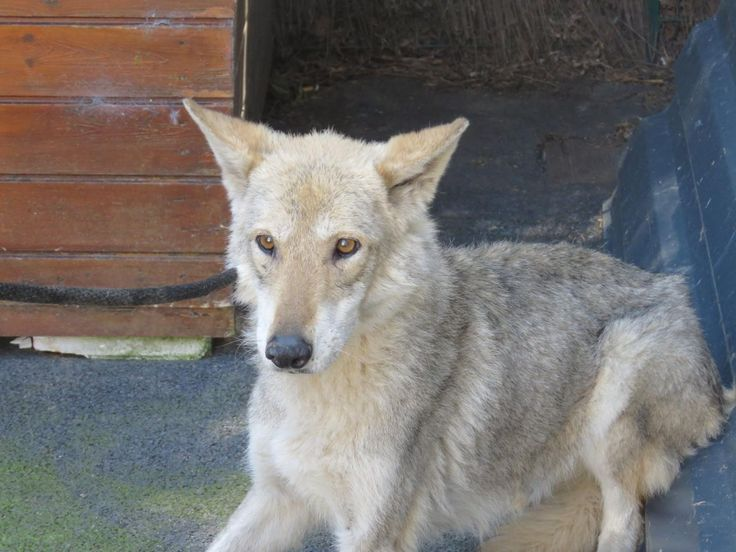 chien-loup de saarloos