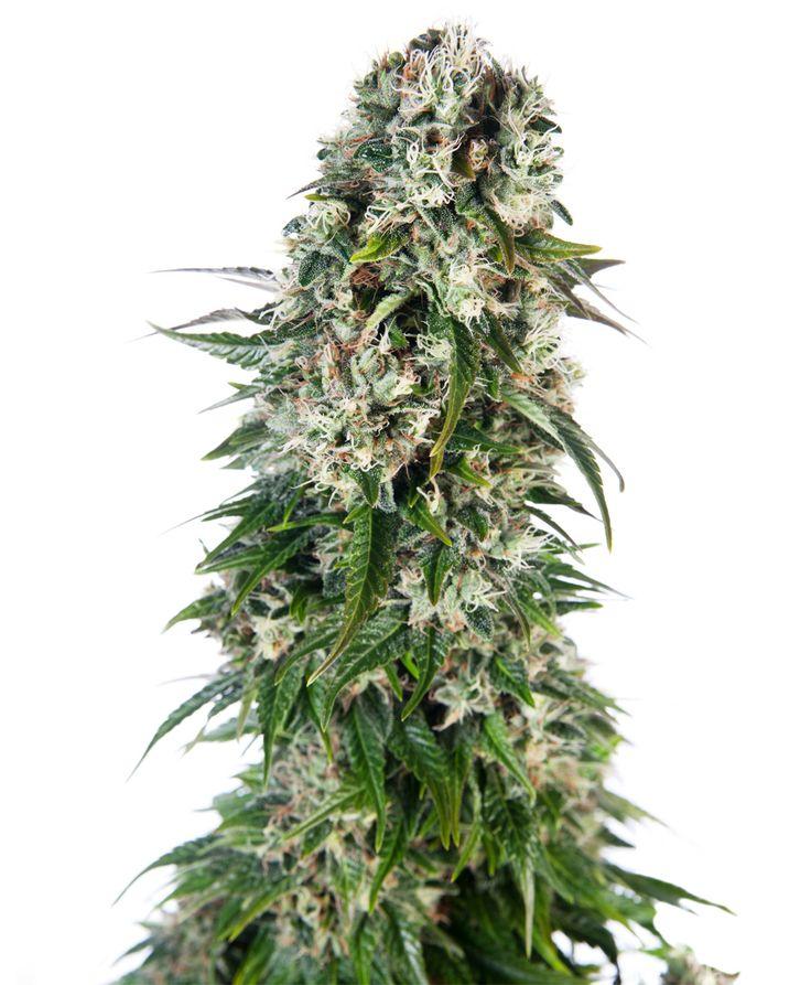 Semillas de cannabis autoflorecientes  Big Bud de Sensi Seeds  Nuestro híbrido súper resinoso Shiva Skunk es una de las variedades de dominancia indica más potentes y ya está disponible como variedad feminizada y autofloreciente. Creada a partir de Northern Lights #5, Skunk #1 y nuestras variedades ruderalis genéticamente puras, las semillas Shiva Skunk Automatic pueden producir ¡plantas autoflorecientes súper fuertes!